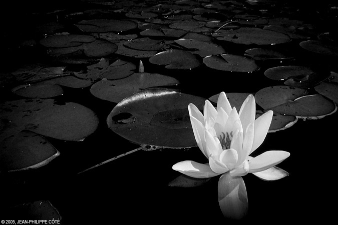 White flower on black water